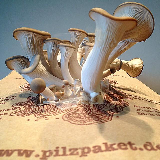 Pilzpaket-Austernseitlinge